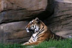 Tigre na frente da rocha Fotografia de Stock Royalty Free
