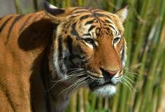 Tigre na frente do bambu Foto de Stock