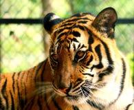 Tigre na gaiola Fotografia de Stock