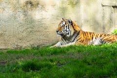 Tigre na grama verde fotos de stock