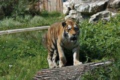 Tigre na natureza Fotos de Stock Royalty Free