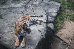 Tigre na rocha foto de stock royalty free