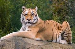 Tigre na rocha Imagens de Stock
