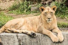 Tigre na selva Imagens de Stock
