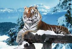 Tigre nas montanhas da neve que colocam na madeira Fotografia de Stock Royalty Free