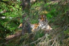 Tigre nascosta Fotografie Stock Libere da Diritti