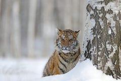 Tigre nascosta con il fronte nevoso Tigre in natura selvaggia di inverno Funzionamento della tigre dell'Amur nella neve Scena del fotografia stock libera da diritti
