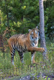 Tigre nel legno Fotografia Stock Libera da Diritti