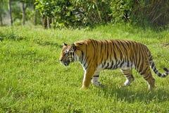 Tigre nel selvaggio Fotografie Stock Libere da Diritti