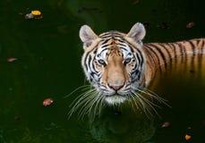 Tigre nell'acqua immagini stock libere da diritti