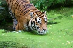 Tigre nell'acqua immagine stock