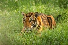Tigre nell'erba immagine stock
