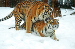Tigri accoppiamento foto stock 77 tigri accoppiamento for Disegni delle tigri