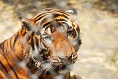 Tigre nella gabbia Immagini Stock
