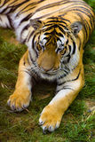Tigre nello zoo Fotografia Stock Libera da Diritti