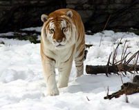 Tigre in neve Fotografie Stock Libere da Diritti