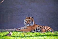 Tigre no captiveiro Imagens de Stock Royalty Free