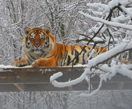 Tigre no dia nevado Imagens de Stock Royalty Free