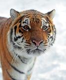 Tigre no inverno foto de stock