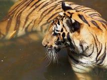 Tigre no jardim zoológico Imagem de Stock