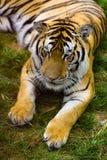 Tigre no jardim zoológico Foto de Stock Royalty Free