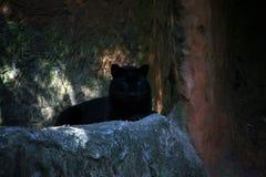 Tigre noir Images libres de droits