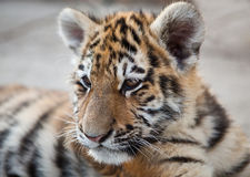 Tigre novo Fotos de Stock