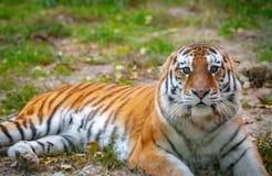 Tigre novo & x28; Altaica& x29 de tigris do Panthera; está encontrando-se na grama Fotografia de Stock Royalty Free