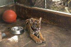 Tigre novo que coloca e relaxado em uma gaiola Fotografia de Stock