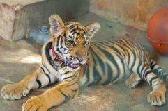 Tigre novo que encontra-se e relaxado em uma gaiola Fotos de Stock