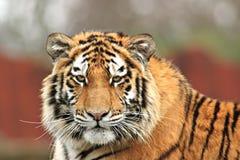 Tigre observador imagens de stock
