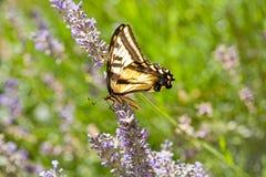 Tigre ocidental Swallowtail, rutulus de Papilio, no Lav imagens de stock