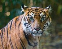 Tigre - ojos verdes Fotografía de archivo