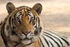Tigre olhar fixamente Imagem de Stock Royalty Free