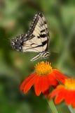 Tigre oriental Swallowtail fotografia de stock