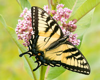 Tigre oriental Swallowtail Photos stock