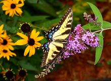 Tigre oriental Swallowtail fotografia de stock royalty free