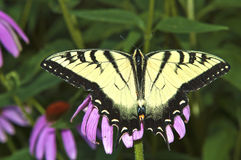 Tigre oriental Swallowtail image stock