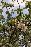 Tigre oriental Swallowtail fotos de stock royalty free