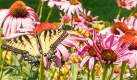 Tigre oriental Swallowtail imagem de stock