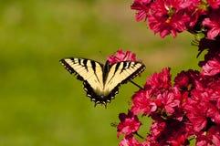 Tigre oriental Swallowtail que senta-se em azáleas Fotos de Stock