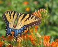 Tigre orientale Swallowtail Immagine Stock Libera da Diritti