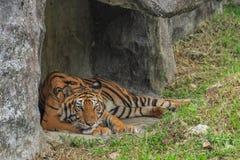 Tigre ou tigre Laipadklan Photo libre de droits