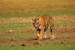 Tigre Pacman, Panthera tigris, Ranthambhore Tiger Reserve, Rajasthan fotografia de stock royalty free