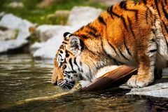 Tigre - Panthera el Tigris fotos de archivo libres de regalías