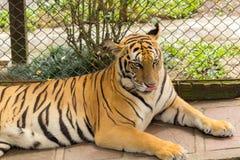 Tigre (Panthera tigris) que lambe seu nariz Imagem de Stock