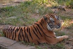 Tigre paresseux dans le zoo image libre de droits