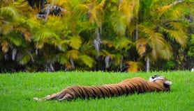 Tigre paresseux dormant dans l'herbe Photographie stock