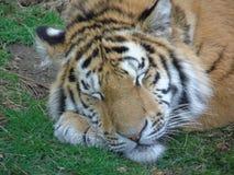 Tigre peligroso que duerme como un gatito de ronroneo fotografía de archivo libre de regalías
