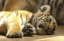 Tigre pequeno imagens de stock royalty free